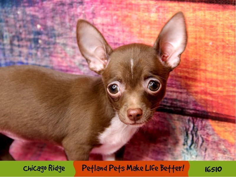 Chihuahua-Female-Brown-3298000-Petland Chicago Ridge