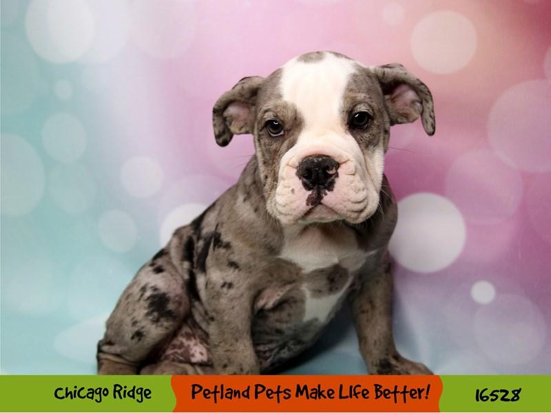 English Bulldog-Female-Blue Merle-3313835-Petland Chicago Ridge