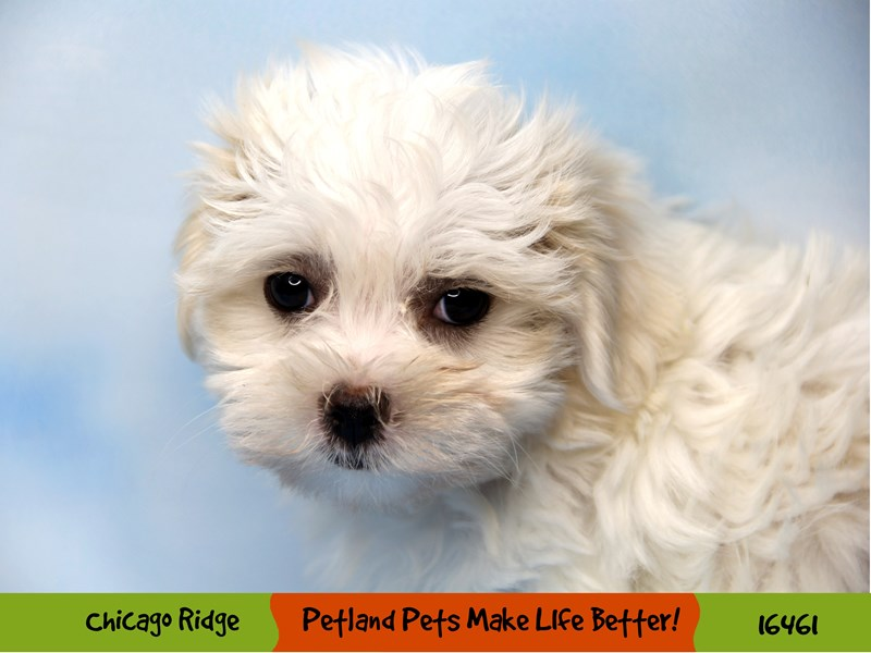 Maltese-Female-White-3277289-Petland Chicago Ridge