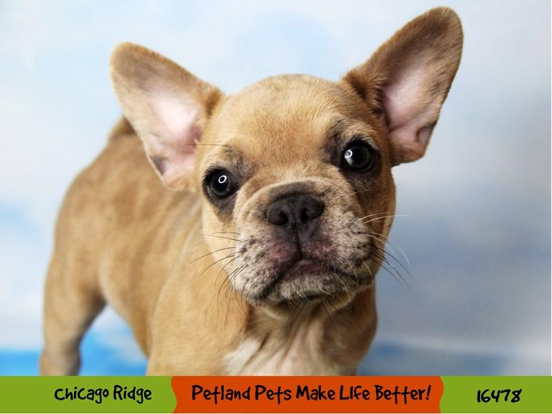 French Bulldog-Female-Lilac Merle-3286659-Petland Chicago Ridge