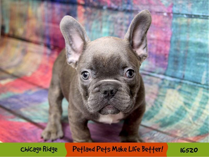 French Bulldog-Male-Blue-3304804-Petland Chicago Ridge