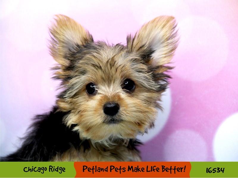 Yorkshire Terrier-Female-Black / Tan-3313851-Petland Chicago Ridge