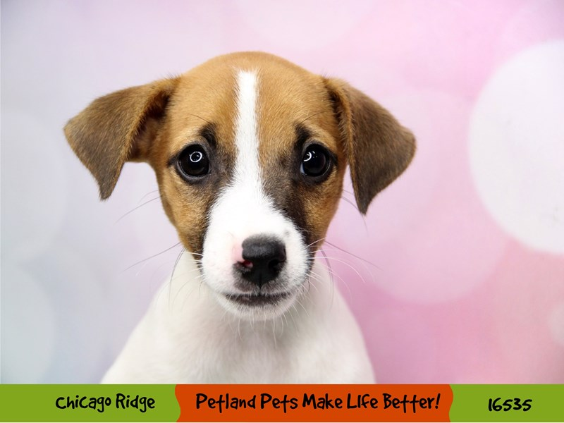 Jack Russell Terrier-Male-White / Brown-3314109-Petland Chicago Ridge