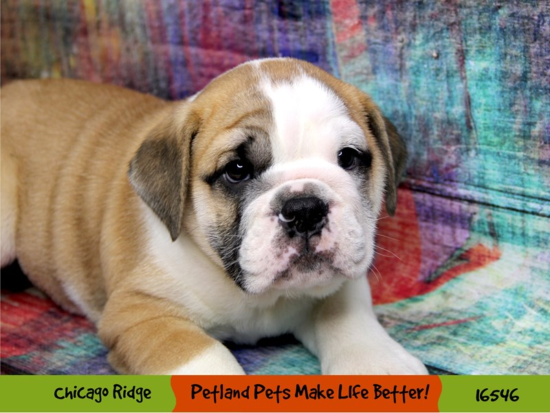 English Bulldog-Male-Red / White-3323540-Petland Chicago Ridge