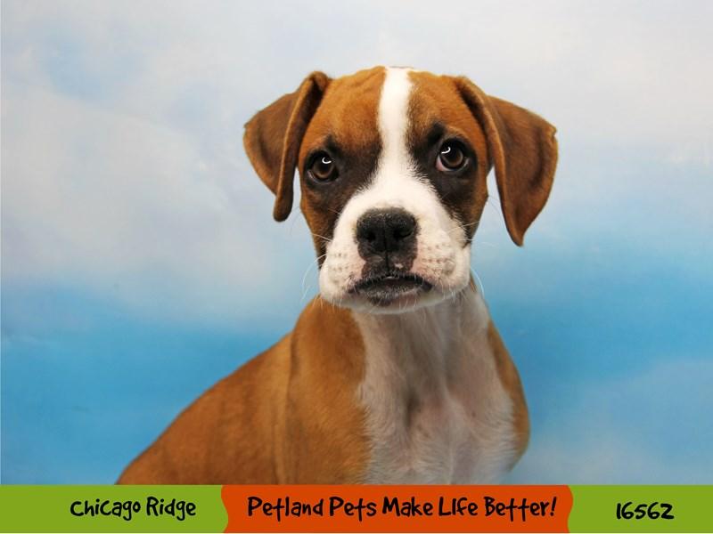 Boxer-Female-Fawn-3325825-Petland Chicago Ridge