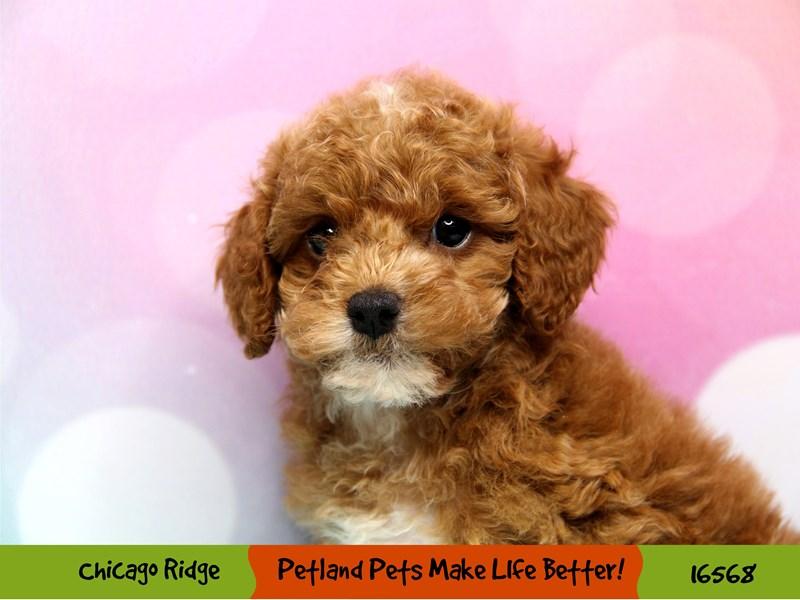 Poodle-Male-Red-3325840-Petland Chicago Ridge
