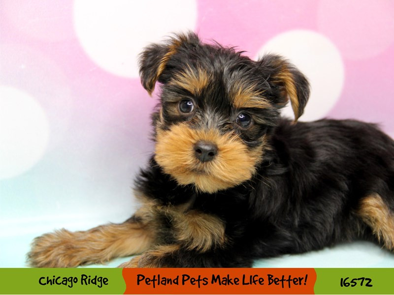 Yorkshire Terrier-Male-Black / Tan-3325833-Petland Chicago Ridge