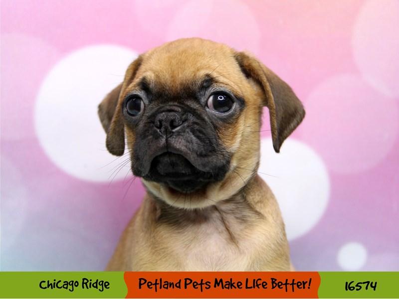 Puggle-Male-Fawn-3325827-Petland Chicago Ridge