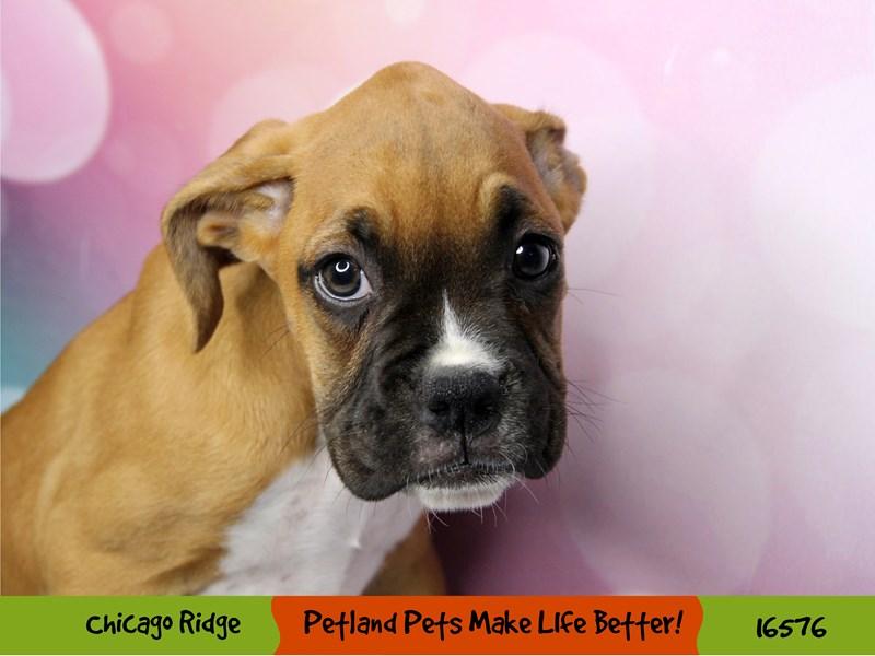 Boxer-Female-Fawn / White-3332809-Petland Chicago Ridge