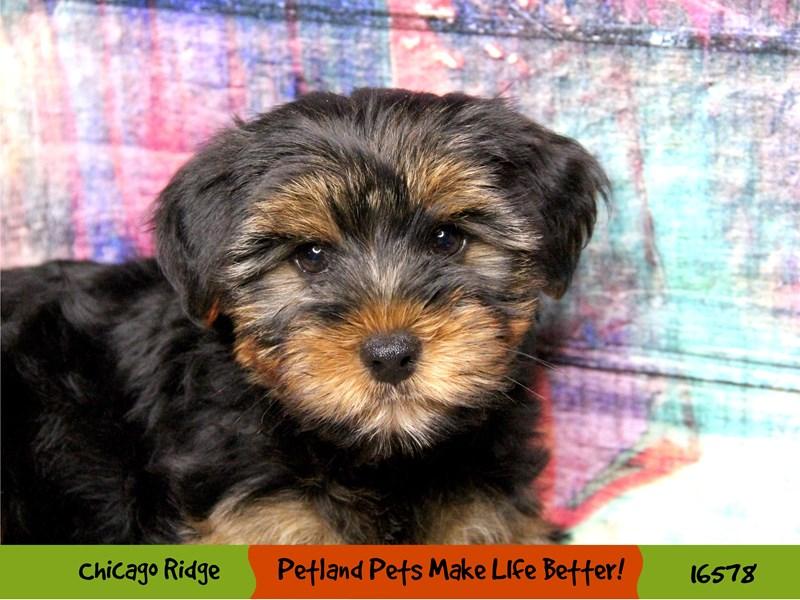 Yorkshire Terrier-Male-Black / Tan-3332743-Petland Chicago Ridge